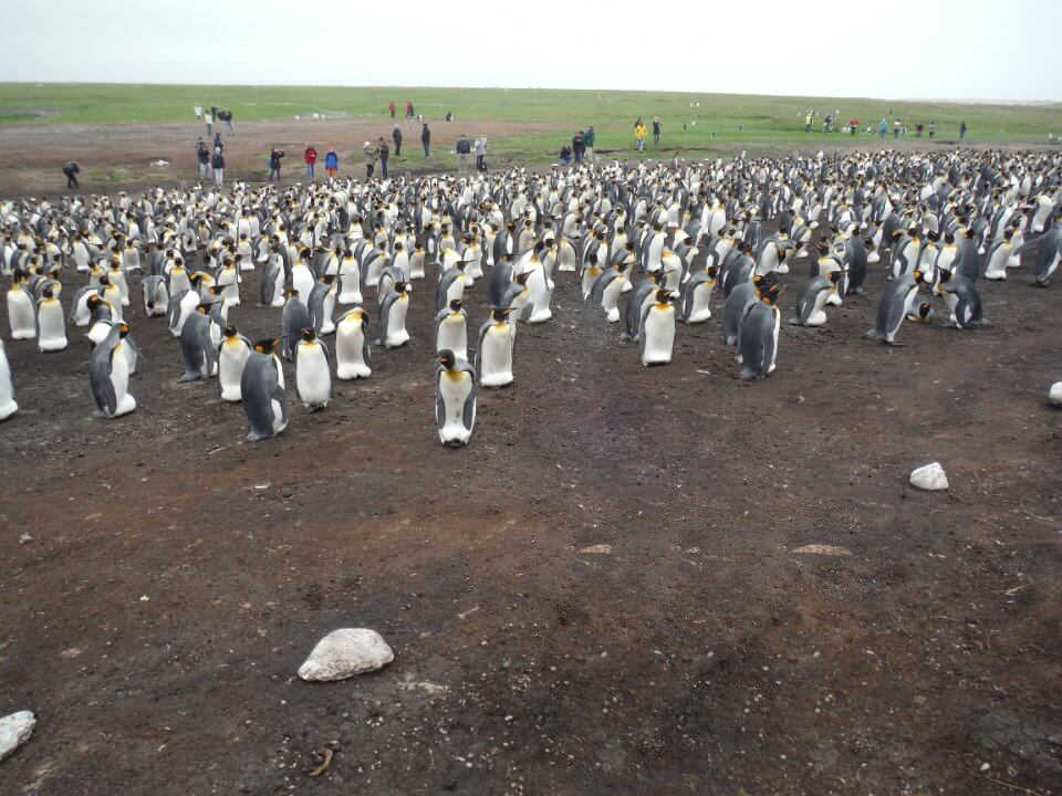 King penguins nursery Falkland Islands