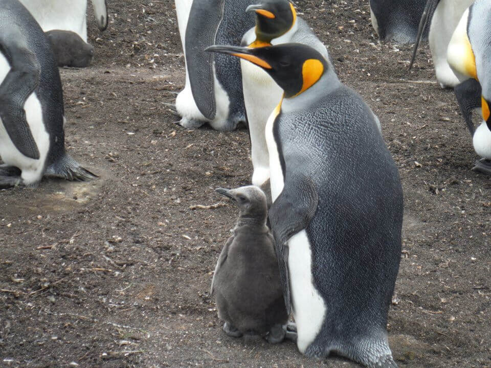 King Penguin Egg