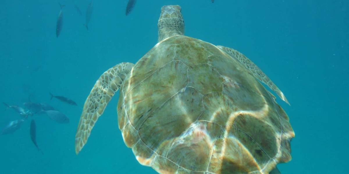 snorkelling with turtles in Barbados | Caribbean Cruise Digest