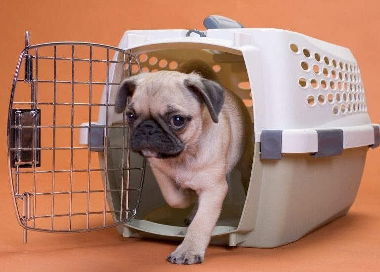 Should a Dog Be Able to Sit up or Stand in the Crate