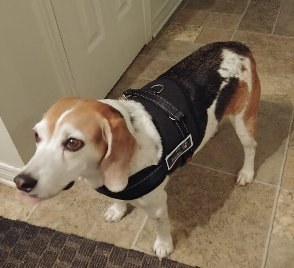 Happy the Beagle with dog harness