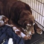 chocolate lab Taz in open crate