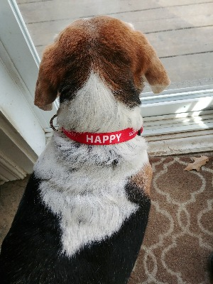 personalized dog collar with name and phone number
