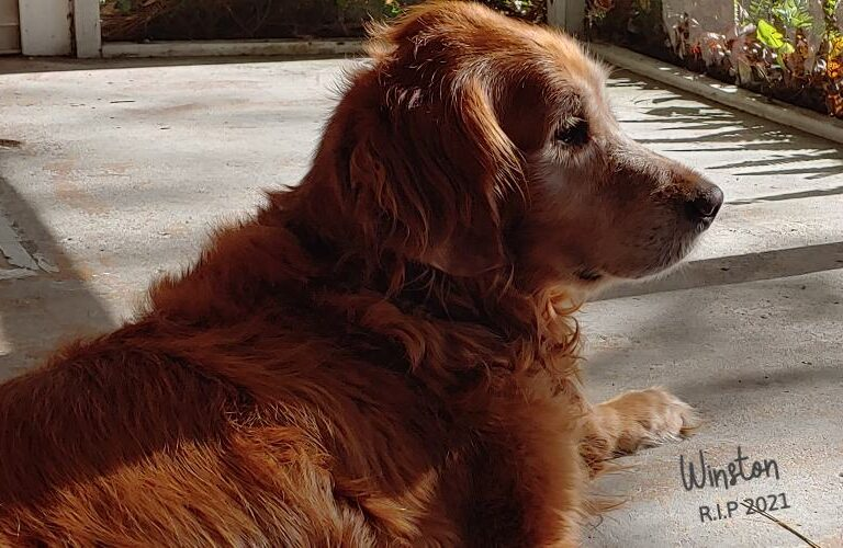 Let's See What Makes Golden Retrievers so Special